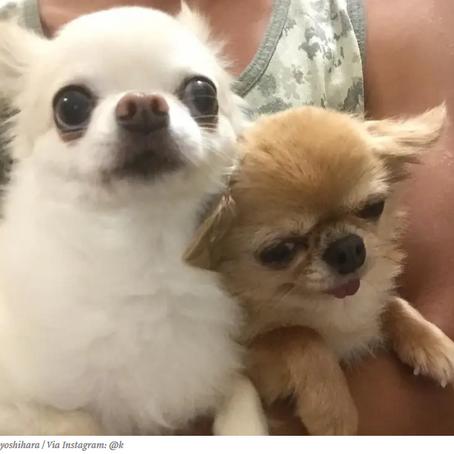 Chihuahua Waking In Car - Goes Viral!
