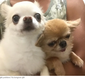 Funny Video Of Chihuahuas Waking In Car