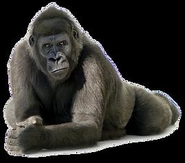 Gorilla Lying Down