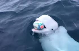 Beluga Whale plays rugby with boat crew