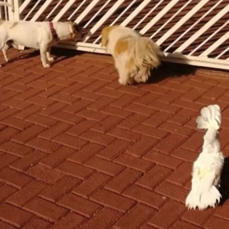 Bird Barks And Acts Like A Guard Dog