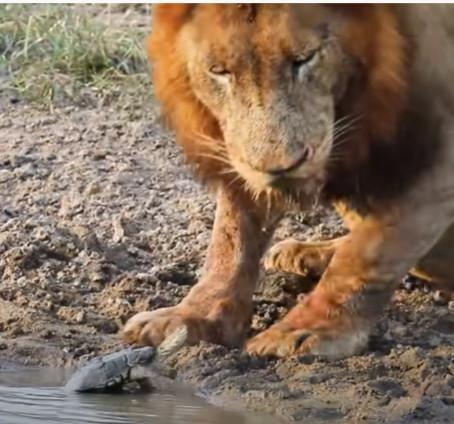 Lion vs Turtle... Who Wins?