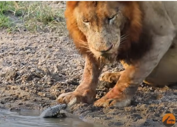Turtle Scaring off A Lion At The Watering Hole