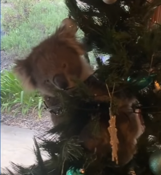 Wild Koala Breaks In To Climb Family Christmas Tree