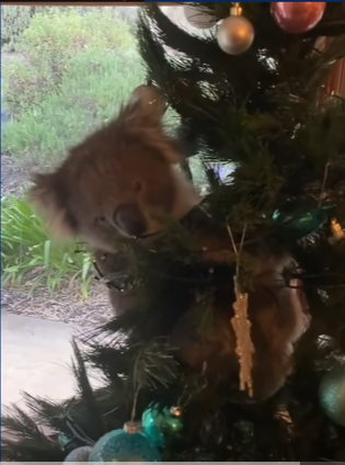 Koala Climbing Christmas Tree