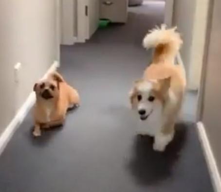 Dog Makes Fun Of Corgi