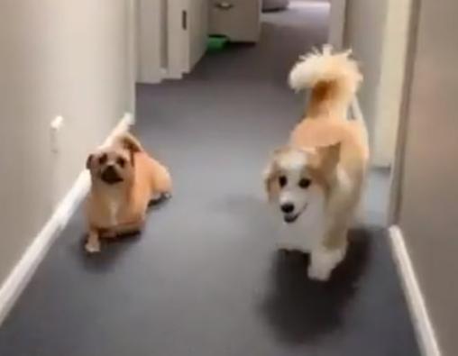 Dog Making Fun Of Corgi