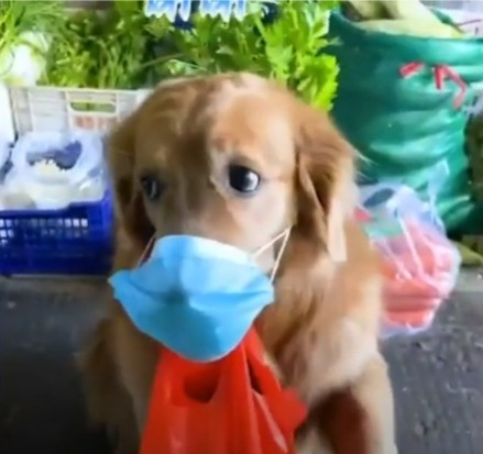 Golden Retriever Dog Going Shopping During Pandemic