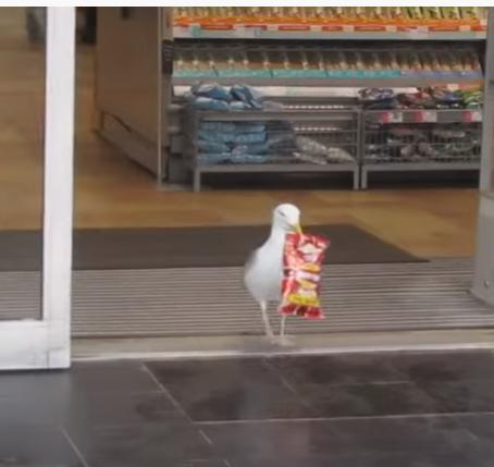 Seagull Shoplifts Like A Pro