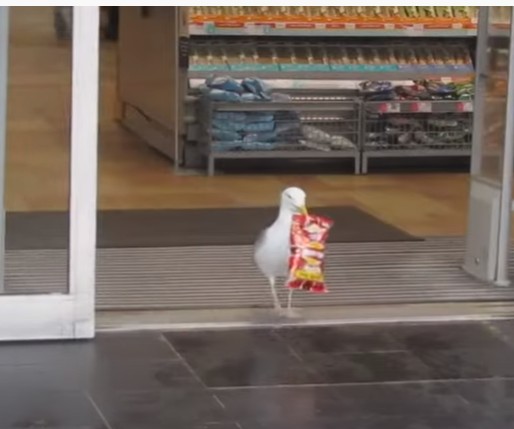 Seagull Stealing Packet Of Chips In Aberdeen