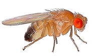 pest-insects-fruit-fly.jpg