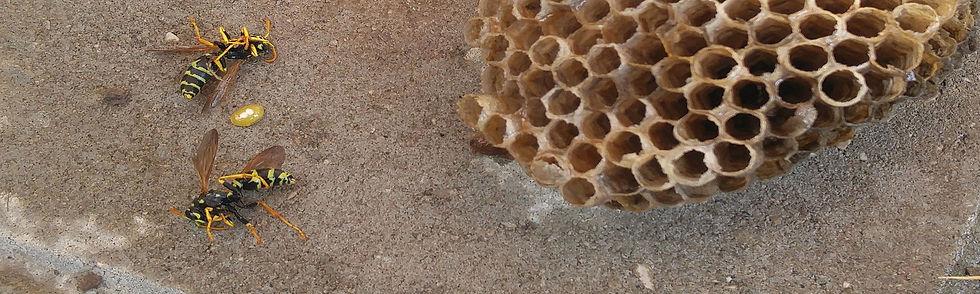 Wasps.nest16.jpg