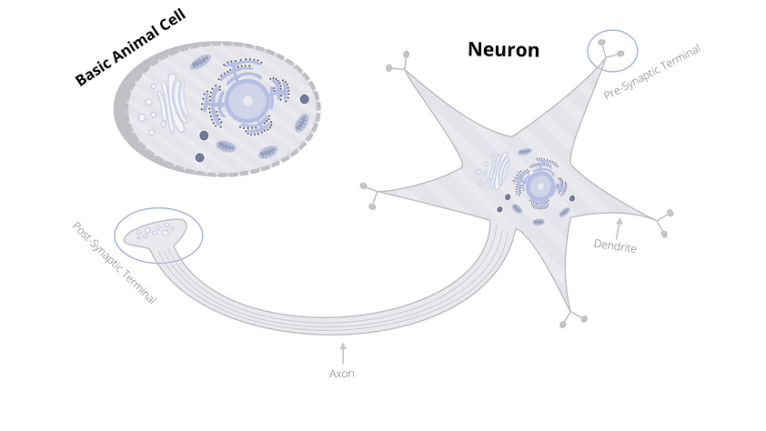Cell versus Neuron.png