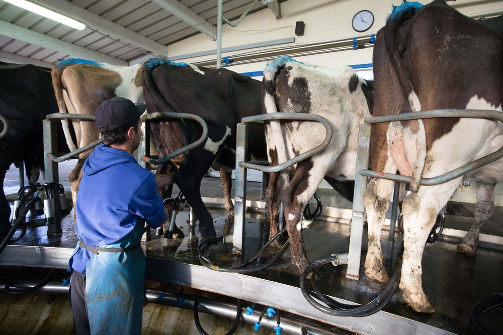 An employee prepares cows for milking at a dairy farm that supplies milk to Fonterra in Hawera, New Zealand. Fonterra, the world's biggest dairy exporter, said in February it would start producing A2 milk. PHOTO: BRENDON O'HAGAN/BLOOMBERG NEWS