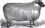 Black and White Sheep sm.jpg