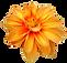 73-736704_dahlia-flower-png-orange-trans