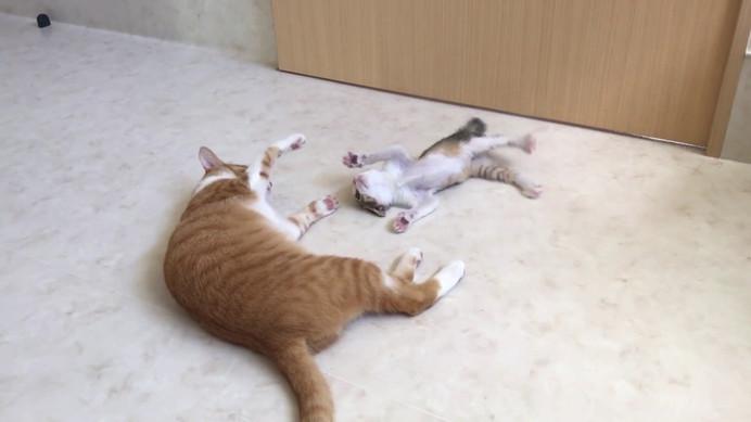 【じゃれ合い】リュウ(病院猫)とキジトラ子猫ちゃん