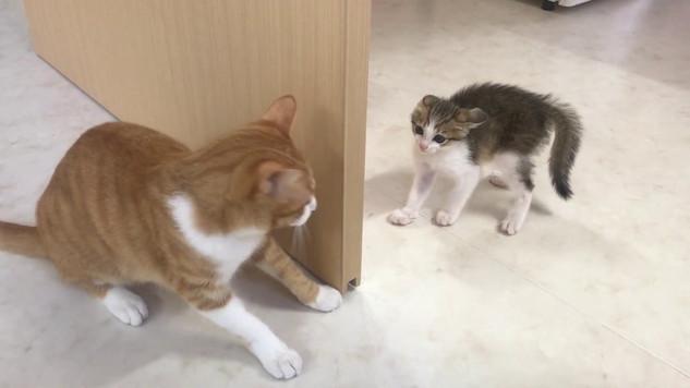 【初対面】リュウ(病院猫)とキジトラ子猫ちゃん