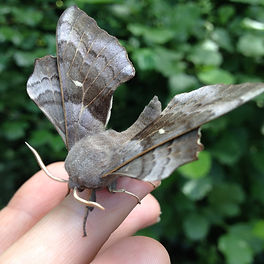 Poplar Hawk moth (10).JPG