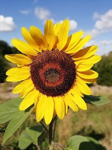 Sunflower (3).jpg