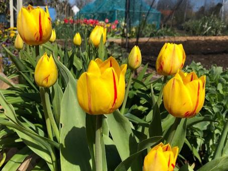 Tulips From Amsterdam to North Carolina & Norfolk