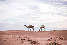 Kamele Wahiba Sands