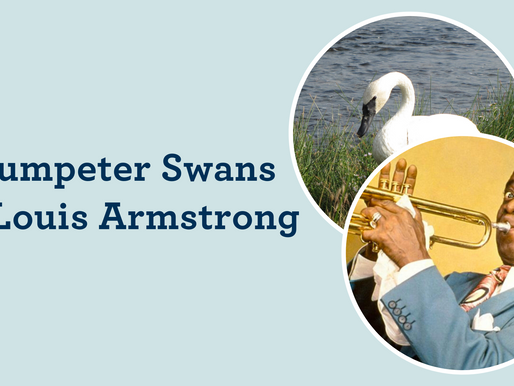 Trumpeter Swans & Louis Armstrong