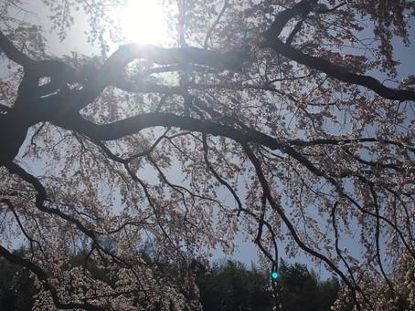「桜で免疫力が上がる」
