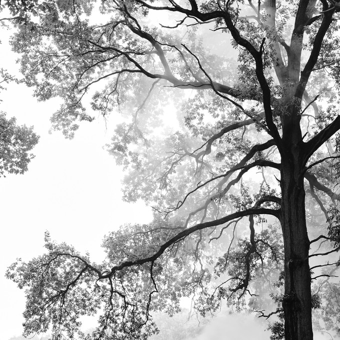 Baum, Nebel