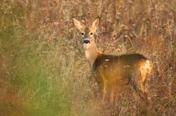 roe-deer-XAVNBYH