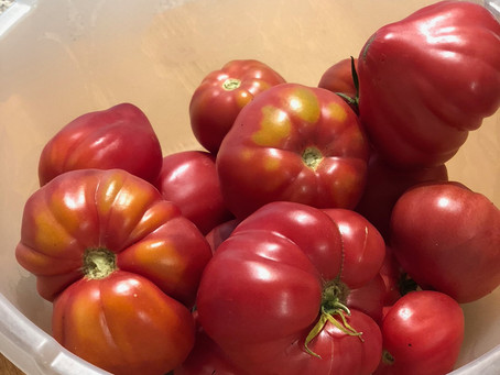 A bumper harvest of fresh wonky tomatoes