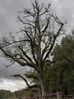 Le chêne bicentenaire