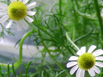 Herbal Spotlight: Matricaria Recutita