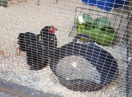 Bursary Winner 2018: Chicken Keeping