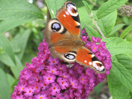 Buddleja (Butterflu Bush) with Peacock butterfly.