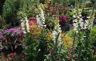 Foxgloves, Erysimum Bowles Maude - Bee friendly perennials with flowering shrubs.