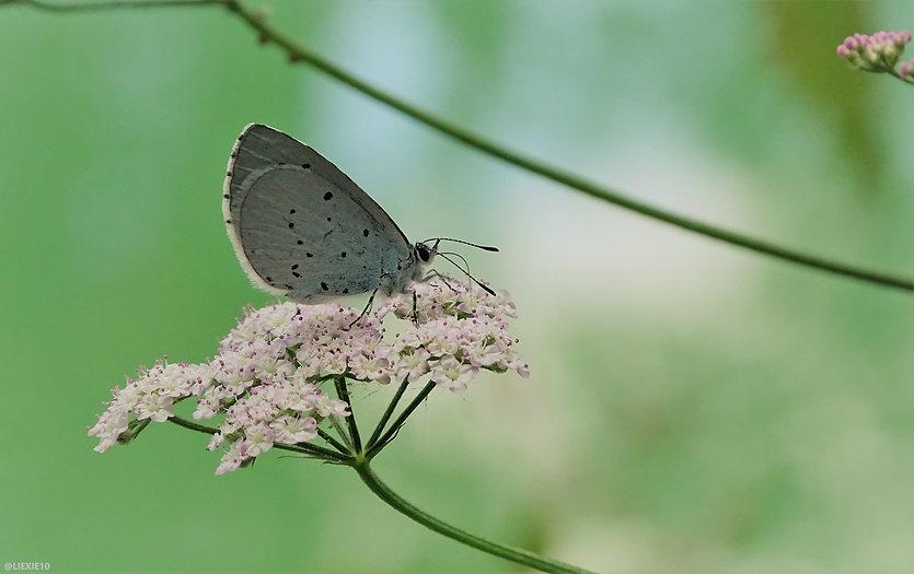 Papillon 3.jpg
