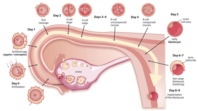 Birth Matters: Ovulation