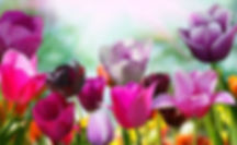 colorful tulips.jfif