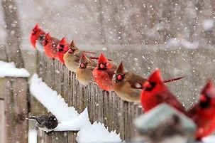 cardinals winter.jpg
