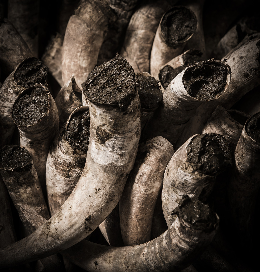 Cow Horns Filled with Manure for Biodynamics
