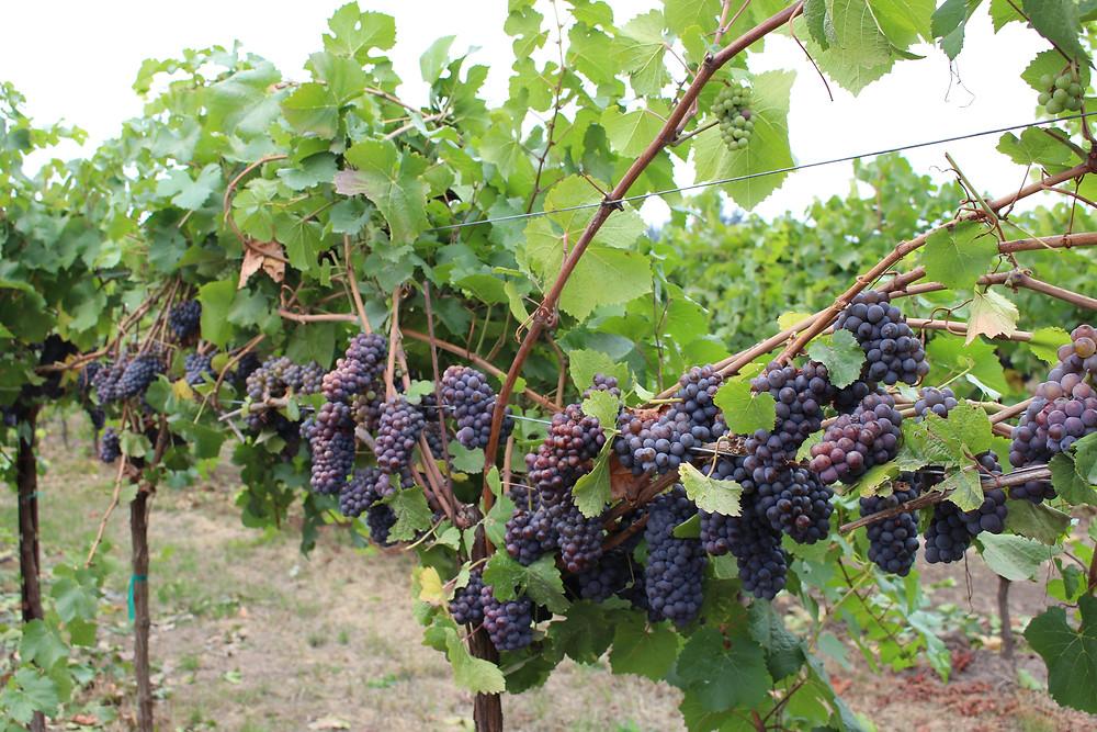 Pinot Noir Grapes in Portland
