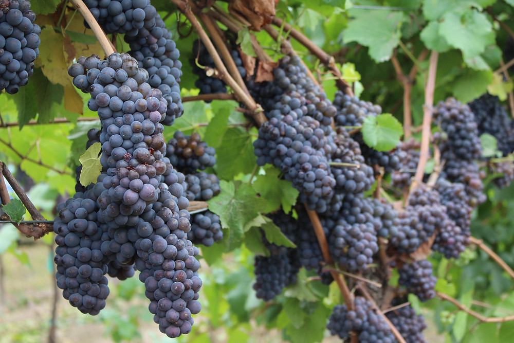 Pinot Noir Grapes ready for harvest