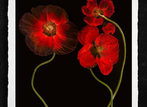 Poppy Love II