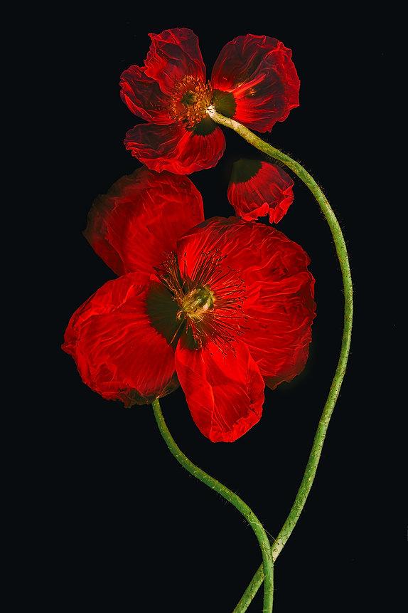 Poppy Love .jpg