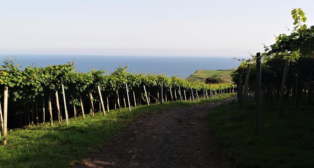 Виноградники чаколи рядом с Путём Св. Иакова (Сумайя и Гетария, Страна Басков)
