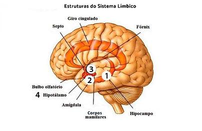 sistema_limbico_anatomia_35_1_600.jpg