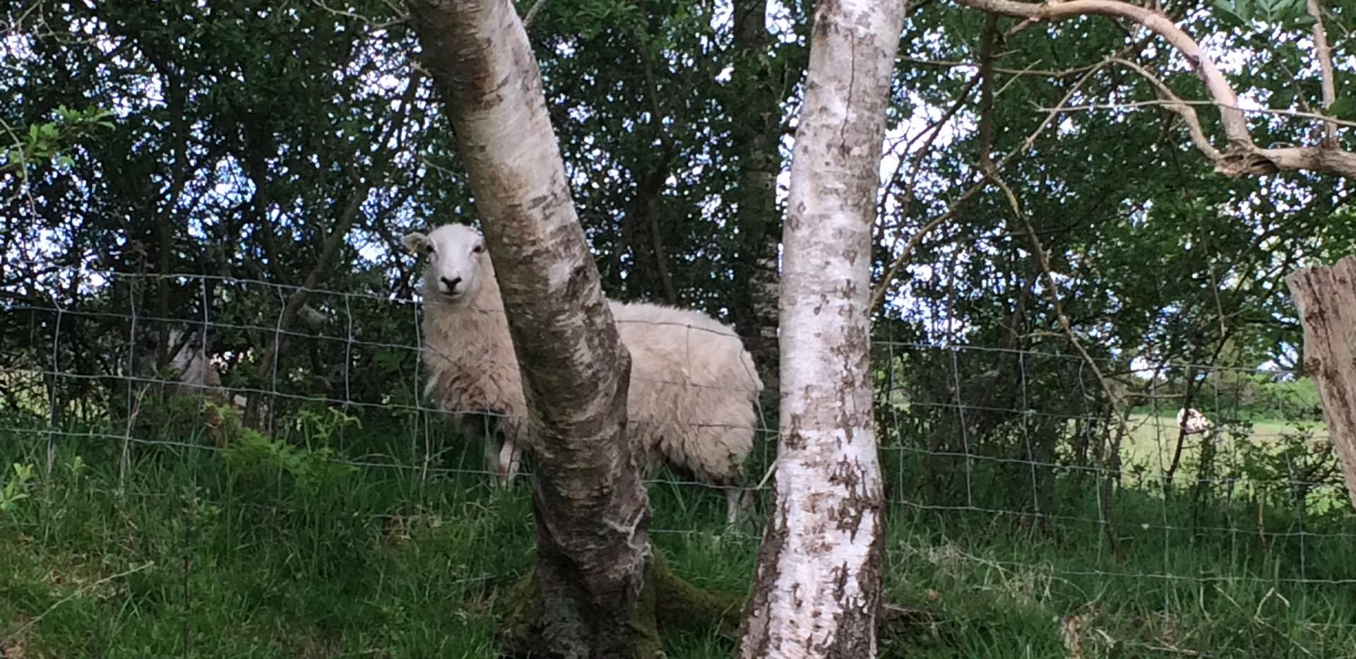 stock grazing on Milber Down