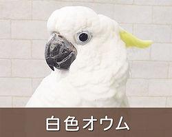 白色オウム