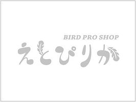 【ご成約済み】シロハラインコ